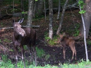 Moose and her calf on the Kancamagus Highway in NH